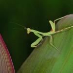 Mantidae - 40 mm - Bulusan - 23.9. 14