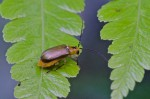 Chrysomelidae - 6 mm - Bulusan lake - 30.9.14