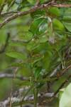 Oecophylla smaragdina - 7 mm - Bulusan - 17.10.14