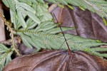Reduviidae - Emecinae - 55 mm - Bulusan lake - 23.10.14