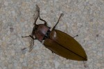 Elateridae - Oxynopterus audoini ( Hope, 1842 ) - 67 mm - Dancalan - 24.2.15