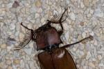 Elateridae - Oxynopterus audoini (Hope, 1842) - 67 mm - 24.2.15