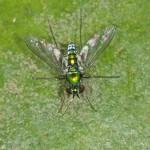 Dolichopodidae - Sciapodinae indeterminé - 6 mm - Bulusan - 27.2.15