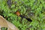 Ondotomachus banski - 13 mm - Bulusan lake - 1.3.15