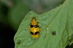 Chrysomelidae - 9 mm - Banaue - 17.9.14