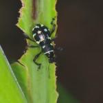 Curculionidae - Metapocyrtus sp - Quezon - 30.3.15