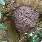Termitière Termitidae - Nasutitermitidae sp - Hauteur de la structure environ 50 cm - San Pedro - Ile de Romblon - 23.4.15