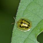 Chrysomelidae - Cassidinae - Aspidimorpha sp - 5 mm - San Pedro - Ile de Romblom - 25.4.15