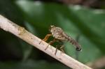 Asilidae - 27 mm - Ile de Sibuyan - 29.4.15