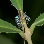 Curculionidae - 11 et 7 mm - Quezon - 15.5.15