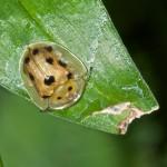 Chrysomelidae - Cassidinae - Aspidimorpha sp - 6 mm - Bulusan - 2.11.15