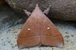 Lasiocampidae - Pinarinae - Odonestis sp - 25 mm env - Bulusan - 24.9.14