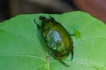 Cetonidae -  Callistethus ? 21 mm - Bulusan - 28.9.14