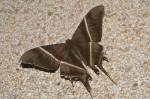 Uraneidae - Uraniinae - Lyssa zampa - Mâle - 100 mm envergure - Bulusan - 30.9.14
