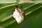 Vespidae - Ropalidia sp - 10 mm - Lucena - 6.10.14