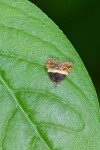 Choreutidae - Choreutinae - Choreutis sp - 7 mm long - May It - 2.11.14