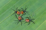Coreidae - Juvéniles - 6 mm - 2.11.14