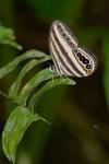 Nymphalidae - Ragadini - Ragadia luzonia - 30 mm envergure - Bulusan lake -