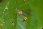 Vespidae - Liostenogaster varipicta - 20 mm - Bulusan lake - 26.2.15