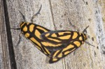 Erebidae - Arctiinae - Xanthetis - Xanthetis luzonica - 15 mm long - Bulusan - 27.2.15