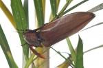 Elateridae - Oxynopterus audoini (Hope, 1842) - 70 mm - Bulusan - 28.2.15