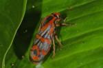 Cercopidae - Cercopis sp - 22 mm - Palaisdan - 27.8.14