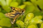 Hesperiidae - Taractrocera luzonensis - 13 mm long - Sagada - 10.9.14