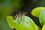 Shyrphidae ? - 11 mm - Sagada - 10.9.14