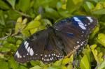 Nymphalidae - Nymphalinae - Hypolimnas bolina - Femelle - 60 mm envergure - Sagada - 12.9.14