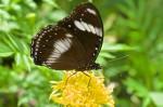 Nymphalidae - Nymphalinae - Hypolimnas bolina - Femelle - 50 mm envergure - Banaue - 19.4.14