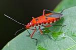 Pyrrhocoridae - Dysdercus sp - 17 mm - Tayabas - 1.9.14