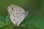 Nymphalidae - Satyrinae - Ypthima stellera -  20 mm -
