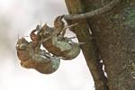 Cicadellidae - Exuvies - 25 mm - Ile de Pandan - Mindoro - 11.3.15