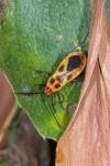 Pyrrhocoridae - Dysdercus - 13 mm - Mindoro - 13.3.15