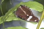 Nymphalidae - Nymphalinae - Hypolimnas bolina - Femelle - 60 à 65 mm envergure - Quezon National Park - 19.3.15
