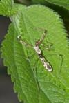 Reduviidae - Emesinae  - 20 mm - Mindoro - 25.3.15