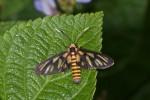 Erebidae - Arctiinae - Syntomini - 22 mm env - Lucena - 29.3.15