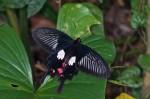 Papilionidae - Pachliopta mariae camarines - 100 à 120 mm envergure - Quezon National Park - 2.4.15