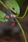 Pyrrhocoridae - Melamphaus faber - 18 mm - Sibuyan - 10.4.15