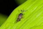 Eucharitidae - Mâle - 2 à 3 mm - Sibuyan - 12.4.15