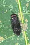 Diptera  - 10 mm - Sibuyan - 13.4.15