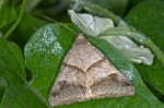Erebidae - Mocis undata - Femelle - 30 mm env ? - Romblon - 24.4.15