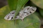 Crambidae - Sameodes - Sameodes cancellalis - 25 mm env - Romblon - 24.5.15