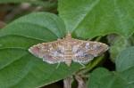 Crambidae - Samoedes cancellalis - 25 mm env - Romblon - 25.4.15