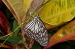 Nymphalidae - Danainae - Ideopsis juventa - 50 à 60 mm envergure - Romblon - 25.4.15