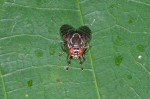 Platystomatidae - Scholastinae - 6 mm - Romblon - 26.4.15
