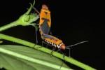 Pyrrhocoridae - Dysdercus poecilus - 10 et 12 mm - Sibuyan - 3.5.15