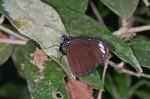 Nymphalidae - Euploea - Euploea mulciber - Mâle - 45 à 50 mm envergure - Quezon National Park - 15.5.15