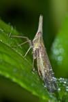 Dictyopharidae - Fulgoridae - 12 mm - Lucena - 10.10.14