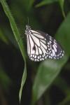 Nymphalidae - Danainae - Danaus melanippus - Mâle - 35 mm envergure - Talipanan - 13.10.15